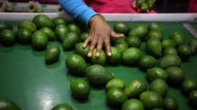 The avocado trade has become one of the more dangerous fields in food