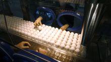 Las granjas secretas de EEUU donde crían millones de gallinas para producir vacunas