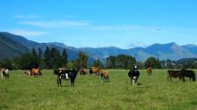 New Zealand ministry says cattle disease outbreak under control