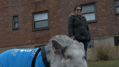 New Yorkers Boldly Flout Law to Keep Pigs