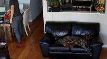 Sleepy dog is too tired to move even after falling off couch