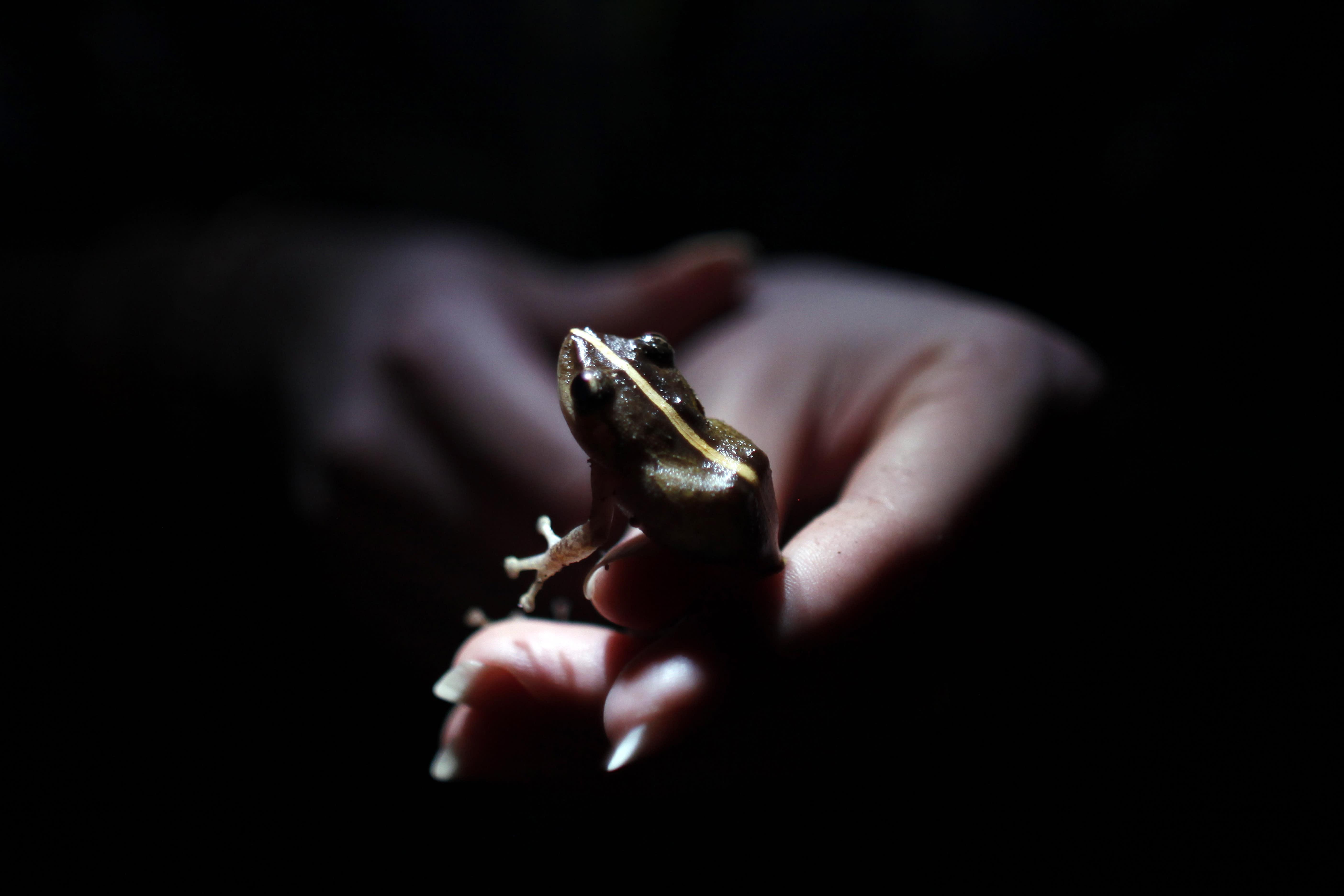 En una foto del 21 de Marzo de 2013, la investigadora Ana Longo sostiene una rana Coqui (Eleutherodactylus coqui) en un bosque tropical de Patillas, Puerto Rico. Científicos informan que muchos tipos de anfibios, especialmente ranas, están desapareciendo probablemente por una combinación de pérdida de su hábitat, el cambio climático, la contaminación y un hongo virulento. (AP Foto/Ricardo Arduengo)