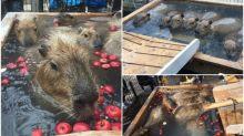日本水豚又有溫泉浸 超豪華「蘋果浴」邊食邊浸