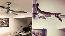Couple look up to find snake slithering on their ceiling fan