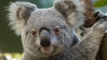 Australischer Winzer entdeckt Koala in seinem Auto