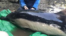 Stranded dolphin rescued after five-hour operation