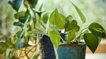 Quelles sont les plantes qui ne supportent pas le tabac (et celles qui le tolèrent) ?
