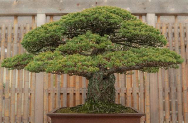 'The Atomic Tree' explores the bonsai that survived a nuclear blast