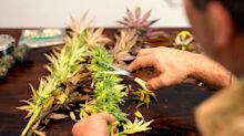 Students of this university's marijuana major are in high demand, even before they graduate