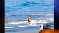 Panicked Deer Drowning in Ocean Off Malibu Rescued by Concerned Residents