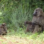 Idaho Wildlife Official Resigns After His Baboon Hunt Sparked Outrage