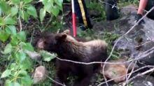 Bear interrupts backyard barbecue, sedation caught on camera