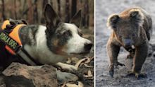 Smudge the koala-rescue dog's crucial role in bushfire aftermath
