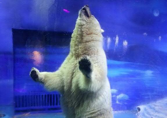 """""""Pizza"""" the polar bear stands up inside his enclosure at the Grandview Mall Aquarium in the southern Chinese city of Guangzhou, in an undated image supplied on September 20, 2016 by Hong Kong-based activist organisation Animals Asia"""