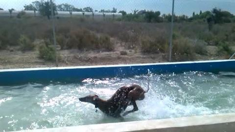 Overenthusiastic dog cools off in backyard pool
