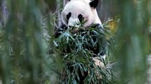 Mei Xiang, the National Zoo's female giant panda, is very pregnant and her cub could come as soon as this weekend