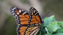 The Magic of the Monarch Butterfly Migration
