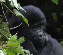 West Africa gorillas more numerous than thought, but still endangered