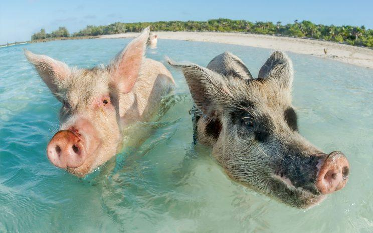 Tourists blamed for the death of the famous swimming pigs of The Bahamas
