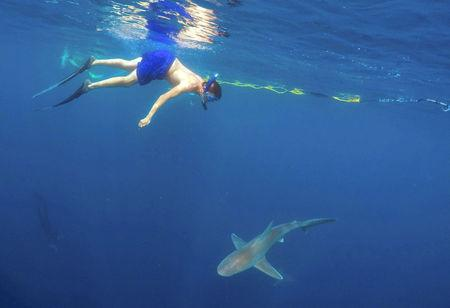A tourist swims with a sandbar shark on a cageless shark dive tour in Haleiwa, Hawaii February 16, 2015. REUTERS/Hugh Gentry/File Photo