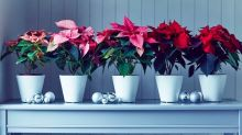 How to care for a Christmas poinsettia