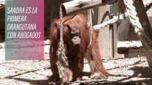 Sandra, la primera orangutana con abogados