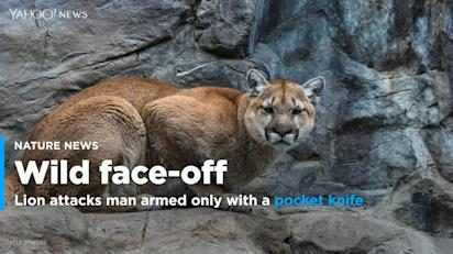 Mountain lion attacks Colorado hunter armed with only a pocket knife,  officials say