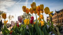 Tulips from Amsterdam? Not so much says new probe