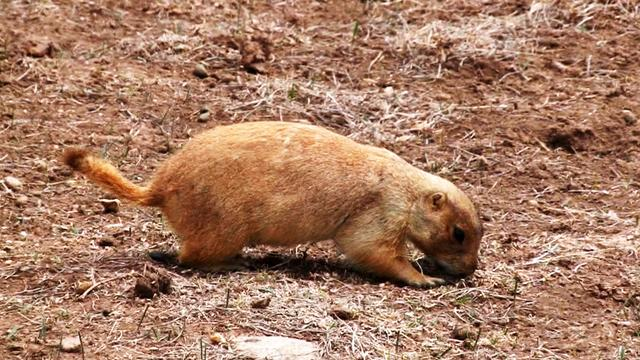 Nature: Prairie dogs