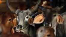 Sri Lanka May Soon Ban Cow Slaughter, PM Rajapaksa's Party Approves Proposal