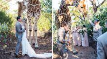 Giraffe photobombs South African wedding