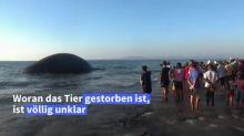 Riesiger Wal-Kadaver in Indonesien angeschwemmt