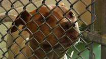 Miami-Dade County to vote on pit bull ban