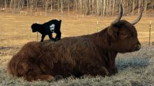 Tiny Goat Plays On Massive Cow
