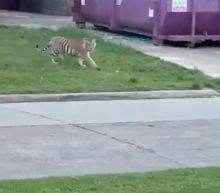 Mystery grows over 'India' the tiger on the loose in Houston and its owner
