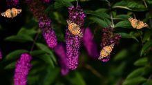 L'invasione di farfalle nel Sussex (e l'app per segnalare gli avvistamenti)