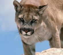 Cougar Kills Mountain Biker In Washington State, Injures Companion