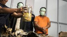 Encuentran cuatro fetos de tigre de Sumatra durante una redada en Indonesia