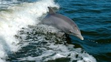 $38,000 Reward Offered For Information On Creeps Who Fatally Speared Dolphin In Head