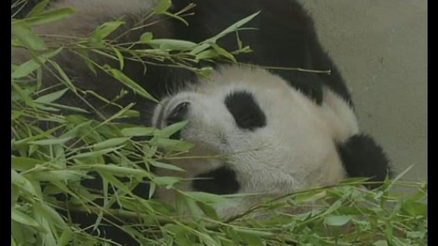 Edinburgh Zoo's female giant panda Tian Tian may be pregnant