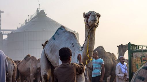 The largest market for camels in the Middle East