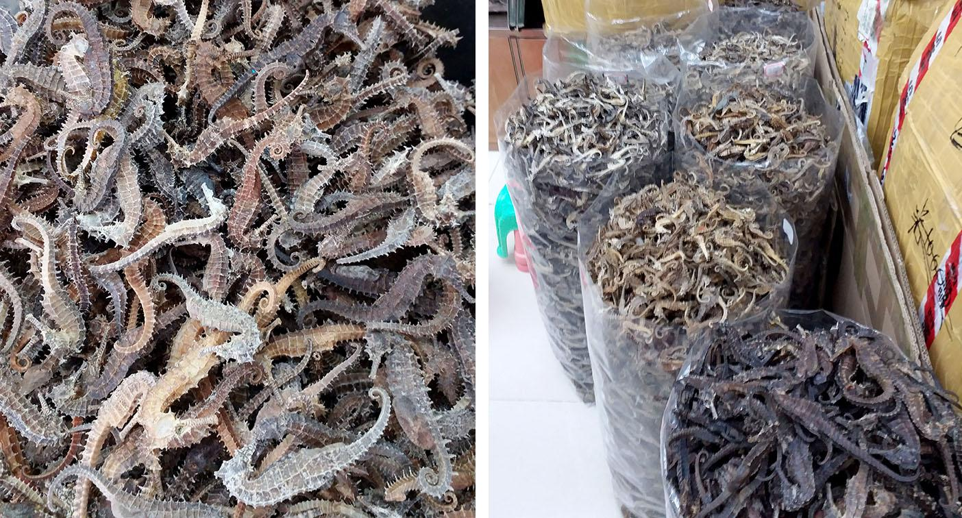 Shocking photos show bags of thousands of dead seahorses
