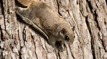 An international flying squirrel trafficking ring has been busted in Florida