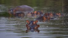Wild hippos descended from Pablo Escobar's pets are terrorizing Colombia