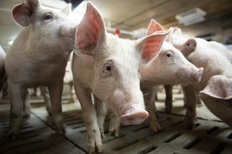 Schweinegrippe Coronavirus