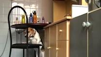 Clever Dog Uses Chair to Steal Food
