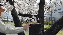 偷嚟做咩?日本大阪公園櫻花樹被剧走