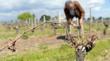 French grape harvest heading to historic low