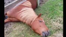 Lazy horse eats grass while lying down