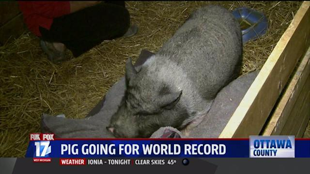 Pig Goes For World Record